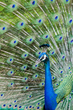 Indian Peacock (Pavo Cristatus) Reproduction photographique par Michael DeFreitas