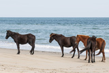 Wild Mustangs (Banker Horses) (Equus Ferus Caballus) in Currituck National Wildlife Refuge Reproduction photographique par Michael DeFreitas