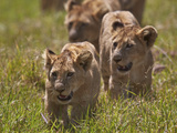Lion (Panthera Leo) Cubs, Ngorongoro Crater, Tanzania, East Africa, Africa Photographic Print by James Hager