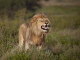 Lion (Panthera Leo) Demonstrating the Flehmen Response Photographic Print by James Hager