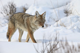 Coyote (Canis Latrans) in the Snow in Winter Photographic Print by James Hager