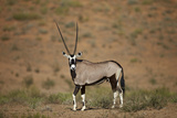 Gemsbok (South African Oryx) (Oryx Gazella) Photographic Print by James Hager
