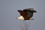 African Fish Eagle (Haliaeetus Vocifer) in Flight, Kruger National Park, South Africa, Africa Photographic Print by James Hager
