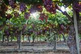 Yadid Levy - Red Globe Grapes at a Vineyard, San Joaquin Valley, California, Usa Fotografická reprodukce