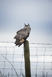 Indian Eagle Owl (Bubo Bengalensis), Herefordshire, England, United Kingdom Photographic Print by Janette Hill