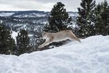 Siberian Lynx (Iberian Lynx) (Lynx Lynx), Montana, United States of America, North America Photographic Print by Janette Hil