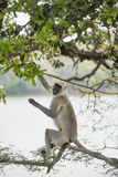 Gray Langurs (Hanuman Langurs) (Langur Monkey) (Semnopithecus Entellus) Photographic Print by Janette Hill