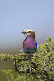 Lilac-Breasted Roller (Coracias Caudata) Papier Photo par James Hager