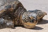 A Green Sea Turtle (Chelonia Mydas) on Laniakea Beach Photographic Print by Michael DeFreitas