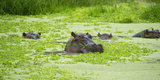Hippopotamus (Hippos) Wallowing in Hippo Pool, South Luangwa National Park, Zambia, Africa Fotografisk tryk af Janette Hill