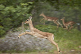Female Impala (Aepyceros Melampus) Running, Kruger National Park, South Africa, Africa Photographic Print by James Hager