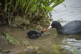 Coot (Fulica), Young Chick Feeding, Gloucestershire, England, United Kingdom Papier Photo par Janette Hill
