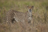 Cheetah (Acinonyx Jubatus), Serengeti National Park, Tanzania, East Africa, Africa Photographic Print by James Hager