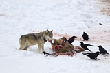 Gray Wolf (Canis Lupus) 870F of the Junction Butte Pack at an Elk Carcass in the Winter Photographic Print by James Hager