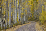 Dirt Road Through Yellow Aspen in the Fall Photographic Print by James Hager