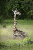 Thornicroft's Giraffe (Giraffa Camelopardalis Thornicrofti) Photographic Print by Janette Hill