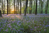 Bluebell Wood, Stow-On-The-Wold, Cotswolds, Gloucestershire, England, United Kingdom Lámina fotográfica por Stuart Black