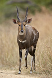 Bushbuck (Imbabala) (Tragelaphus Sylvaticus) Buck, Kruger National Park, South Africa, Africa Photographic Print by James Hager