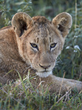 Lion (Panthera Leo) Cub, Ngorongoro Crater, Tanzania, East Africa, Africa Photographic Print by James Hager