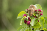 Eurasian Harvest Mouse (Micromys Minutus), Devon, England, United Kingdom Papier Photo par Janette Hill
