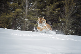 Siberian Tiger (Panthera Tigris Altaica), Montana, United States of America, North America Photographic Print by Janette Hil