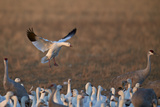 Snow Goose (Chen Caerulescens) Landing Photographic Print by James Hager