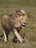 Lion (Panthera Leo), Ngorongoro Conservation Area, Serengeti, Tanzania, East Africa, Africa Photographic Print by James Hager