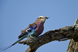 Lilac-Breasted Roller (Coracias Caudata) with an Insect Papier Photo par James Hager