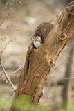 Scops Owl (Otus) (Strigidae), Ranthambhore, Rajasthan, India Photographic Print by Janette Hill