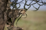 Cheetah (Acinonyx Jubatus) Cub in an Acacia Tree Photographic Print by James Hager
