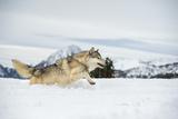 Grey Wolf (Timber Wolf) (Canis Lupis), Montana, United States of America, North America Fotografisk trykk av Janette Hil