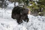 Black Bear (Ursus Americanus), Montana, United States of America, North America Photographic Print by Janette Hil