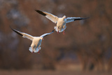 Two Snow Goose (Chen Caerulescens) Landing Photographic Print by James Hager