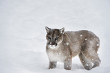 Mountain Lion (Puma) (Cougar) (Puma Concolor), Montana, United States of America, North America Photographic Print by Janette Hil