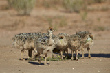 Common Ostrich (Struthio Camelus) Chicks Photographic Print by James Hager