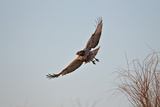 Juvenile Red-Tailed Hawk (Buteo Jamaicensis) in Flight Photographic Print by James Hager