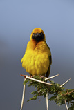 Lesser Masked Weaver (Ploceus Intermedius), Ngorongoro Crater, Tanzania, East Africa, Africa Reproduction photographique par James Hager