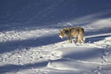 Gray Wolf (Canis Lupus) 870F of the Junction Butte Pack in the Winter Photographic Print by James Hager