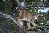 Canadian Lynx (Lynx Canadensis), Montana, United States of America, North America Photographic Print by Janette Hil