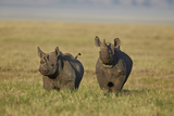 Black Rhinoceros (Hook-Lipped Rhinoceros) (Diceros Bicornis) Pair Photographic Print by James Hager