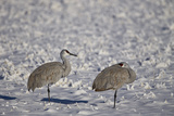 Two Sandhill Crane (Grus Canadensis) in the Snow Photographic Print by James Hager