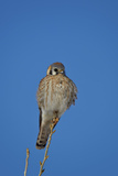American Kestrel (Sparrow Hawk) (Falco Sparverius) Female Photographic Print by James Hager
