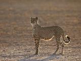 Cheetah (Acinonyx Jubatus) Backlit on the Dry Auob River Photographic Print by James Hager