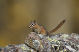 Uinta Chipmunk (Tamias Umbrinus), Uncompahgre National Forest, Colorado, Usa Photographic Print by James Hager