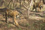 Royal Bengal Tiger (Tigris Tigris) Cubs, Ranthambhore, Rajasthan, India Photographic Print by Janette Hill