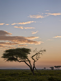 Acacia Tree and Clouds at Dawn Fotografisk tryk af James Hager