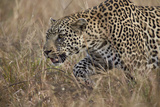 Leopard (Panthera Pardus), Kruger National Park, South Africa, Africa Photographic Print by James Hager