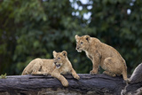 Lion (Panthera Leo) Cubs on a Downed Tree Trunk in the Rain Fotodruck von James Hager