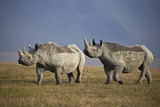 Two Black Rhinoceros (Hook-Lipped Rhinoceros) (Diceros Bicornis) Photographic Print by James Hager