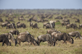 Blue Wildebeest (Brindled Gnu) (Connochaetes Taurinus) Herd Photographic Print by James Hager